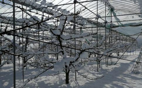 雪 さくらんぼ畑