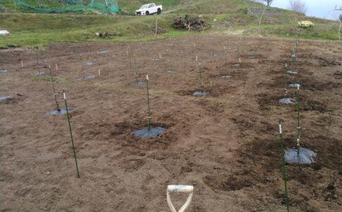 ぶどう苗植え完了